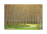 Poplar Trees and Road