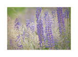 Lupine Grasses