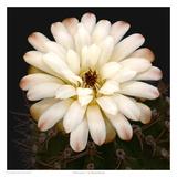 Chin Cactus 1