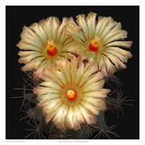Scheer&#39;s Cory Cactus