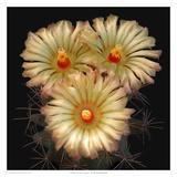 Scheer's Cory Cactus