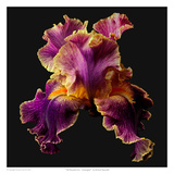 Tall Bearded Iris - Entagled