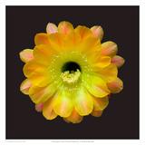 Echinopsis Cactus Hybrid - Daydream