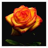 Garden Rose 2