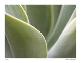Agave V