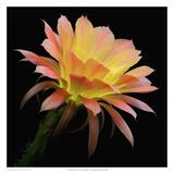 Echinopsis Cactus Napea