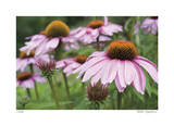 Echinacea Party