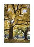 Stewart Park Walnut Trees III
