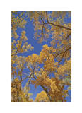 Cottonwoods in Fall