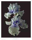 Tall Bearded Iris - Willamette Mist