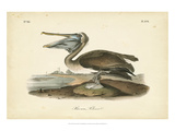 Audubon&#39;s Brown Pelican