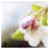 Apple Blossom II