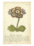 Non-Embellished Vintage Auricula II