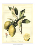 Printed Tuscan Fruits II