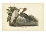 Audubon's Reddish Egret
