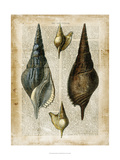 Antiquarian Seashells II