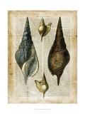 Antiquarian Seashells II