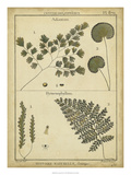 Diderot Antique Ferns IV
