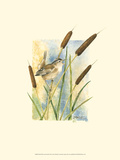 Marsh Wren and Cattails