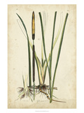 Antique Cattail II