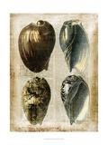 Antiquarian Seashells III