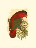 Purple-Capped Lory