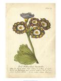 Non-Embellished Vintage Auricula I