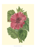 Chinese Rose Mallow