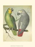 Cassell&#39;s Parrots II