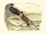 Pheasant Varieties IV