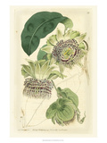 Antique Passionflower II