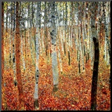 Forest of Beech Trees  c1903