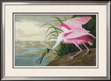 Roseate Spoonbill  Platalea Leucorodia  from &#39;The Birds of America&#39;  1836
