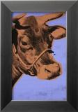 Cow  c1971 (Purple and Orange)