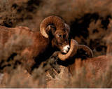 Rams Fighting (Wildlife)
