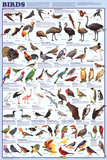 Laminated Birds Educational Animal Chart Poster