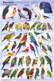 Laminated Parrots Educational Bird Chart Art Poster