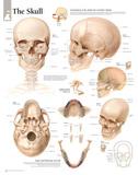 Laminated The Human Skull Educational Chart Poster
