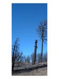 Burned Trees 1