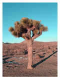 Joshua Tree
