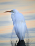 A Great White Egret  Ardea Alba  in a Lake at Sunset