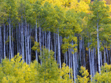 Aspen Trees in Autumn Hues