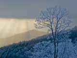 Rime Ice on Trees with Blue Shadows; Sunlight Streaming Through Clouds