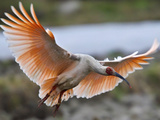 A Crested Ibis  Nipponia Nippon  Coming in for Landing