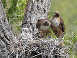 A Red-Tailed Hawk Family  Buteo Jamaicensis  Together in their Nest