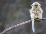 A Golden Snub-Nosed Monkey Infant Perches in a Highland Forest