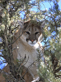 A Mountain Lion  Puma  or Cougar  Felis Concolor  Perched in a Tree