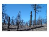 Burned Trees In California