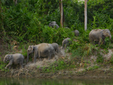 Protected Elephants Forage and Drink in Kaziranga National Park