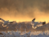 Snow Geese  Chen Caerulescens  Coming in for a Landing at Sunrise